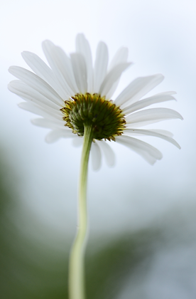 Daisy_001