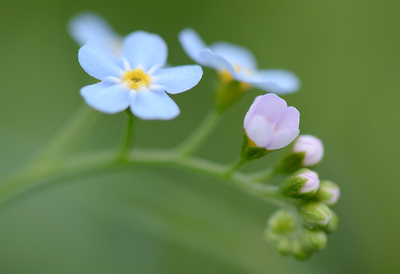 Forget-me-not Image No. 86