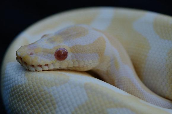 Albino Ball Python Image No. 29