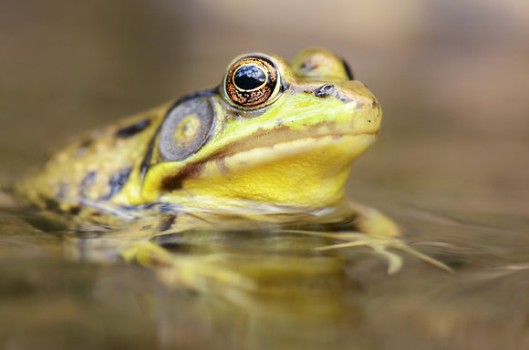 Green Frog Image No. 84