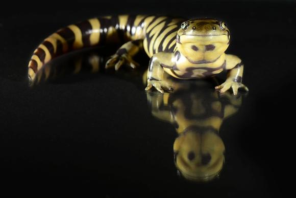 Tiger Salamander Image No. 114