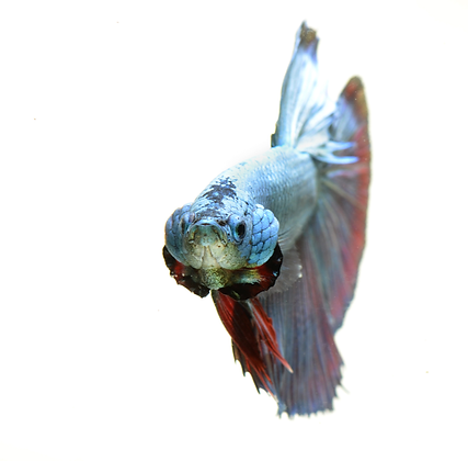 Siamese Fighting Fish Image No. 116