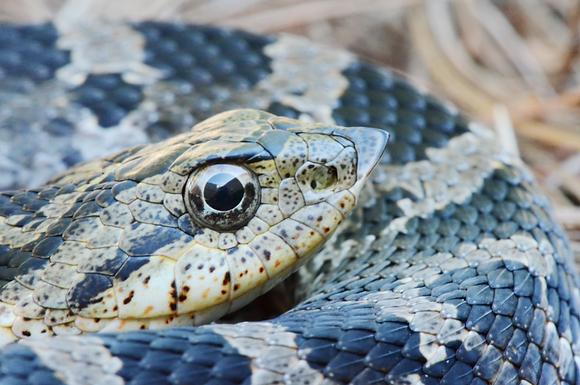 Hog-nosed Snake  Image No. 014