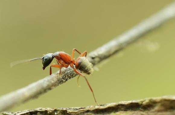 Carpenter Ant Image No. 48