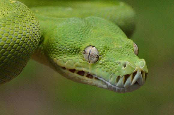Green Tree Python Image No. 31