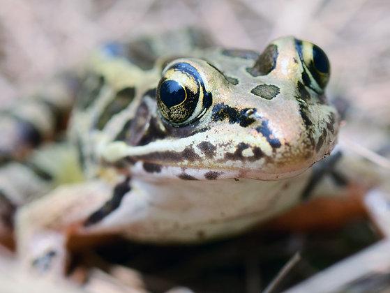 Pickerel Frog Image No. 141