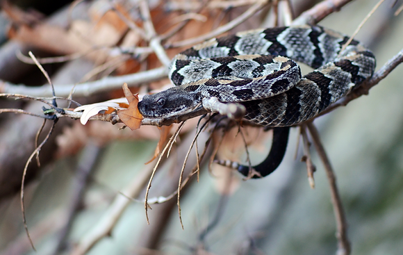 Timber Rattlesnake Image No. 21