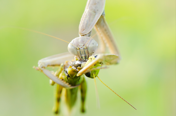 Praying Mantis Feeding Image No. 67