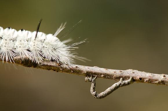 Hickory Tussock Moth Caterpillar Image  No. 068