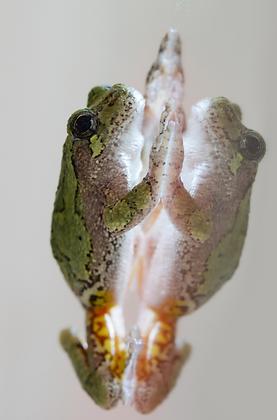 Gray Treefrog Image No. 111
