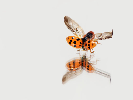 Harlequin Ladybird Image No. 109