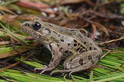 Atlantic Coast Leopard Frog 2_D. Quinn.J