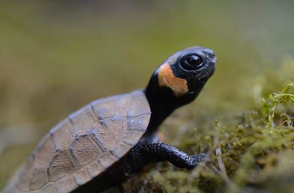 Bog Turtle Image No. 127