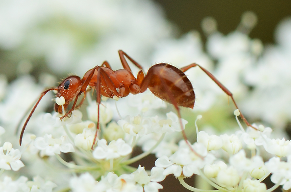 Ant Pollinating Image No. 064