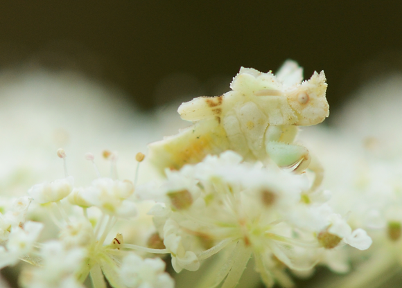 White Ambush Bug Image No. 056