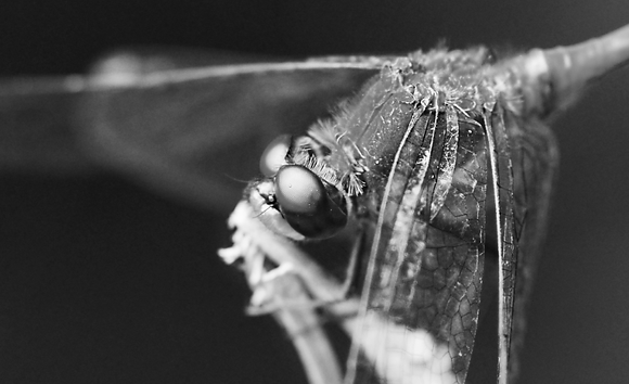 Black & White Dragonfly Image No. 41