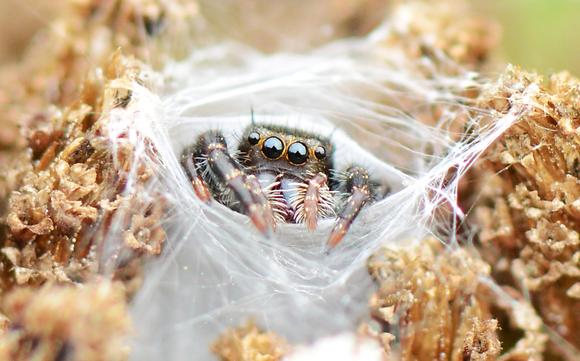 Jumping Spider Image No. 066