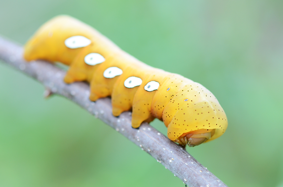 Pandorous Sphinx Moth Caterpillar Image  No. 046