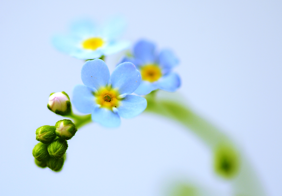 Forget-me-not Image No. 87