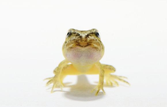 Wood Frog Metamorph Image No. 074
