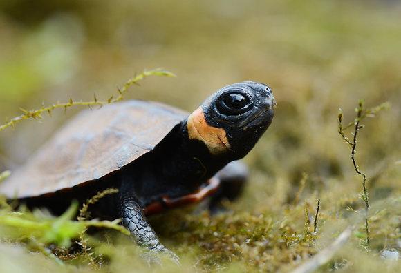 Bog Turtle Image No. 126