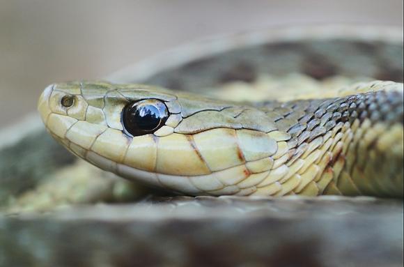 Garter Snake Image No. 023