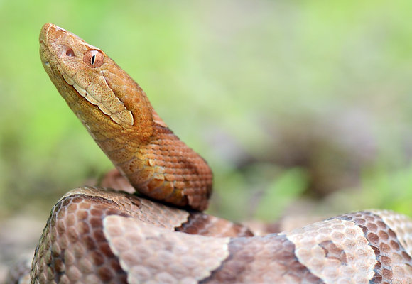 Copperhead Image No. 99