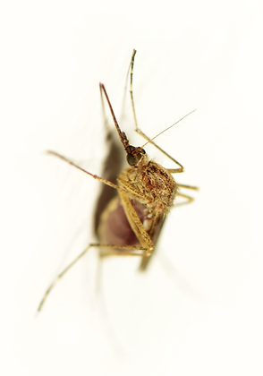 Mosquitoe Image No. 112