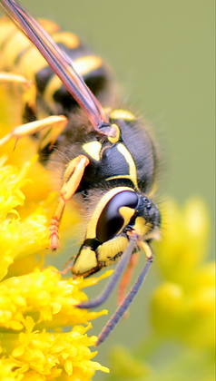 Yellowjacket Wasp Image No.  No. 49