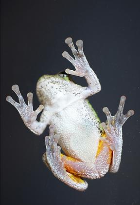 Gray Tree Frog Image No. 022