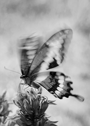 Black & White Butterfly Image No. 53