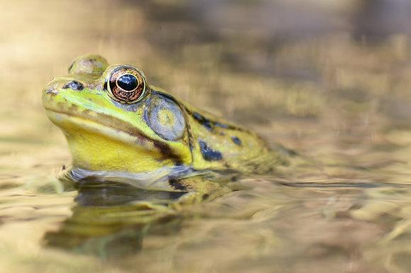 Green Frog Image No. 83