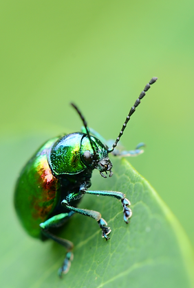 Dogbane Leaf Beetle Image No. 38