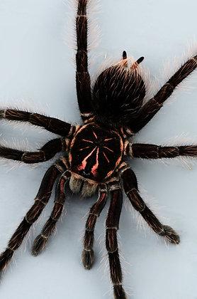 Brazilian Pinkbloom Tarantula Image No. 28