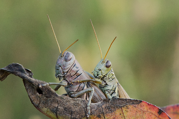 Grasshoppers  Image No. 070