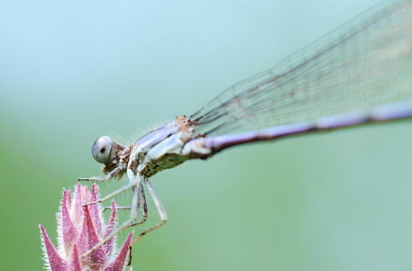 Damselfly Image No. 040