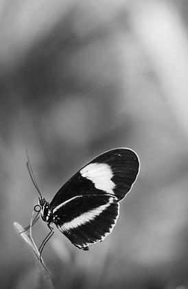 Black & White Butterfly Image No. 33