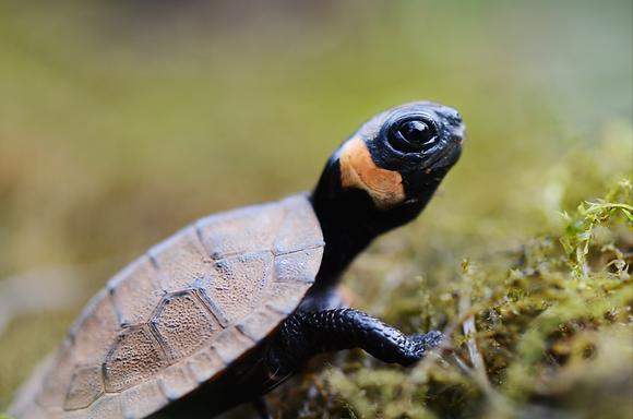 Bog Turtle  Image No. 020