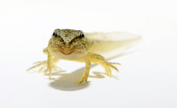 Wood Frog Metamorph Image No. 73