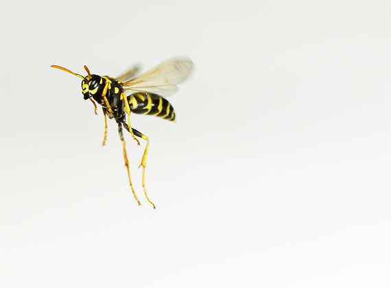 Yellow Jacket Flying Image No. 95