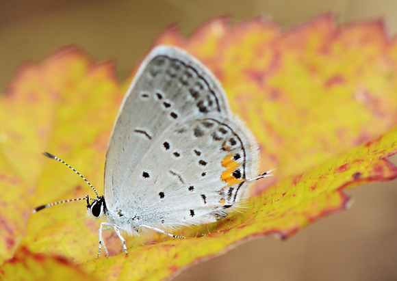 Eastern Tailed-blue Image No. 054