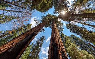 sequoia 2.jpg