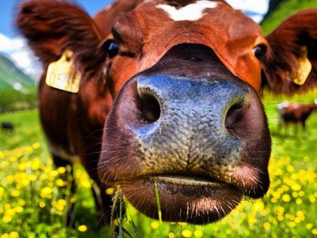 Sing to Your Cows