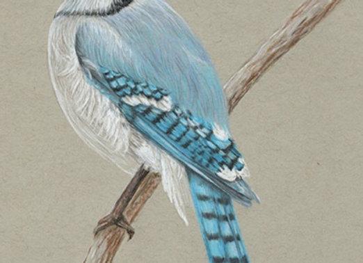 BlueJay - Original Art