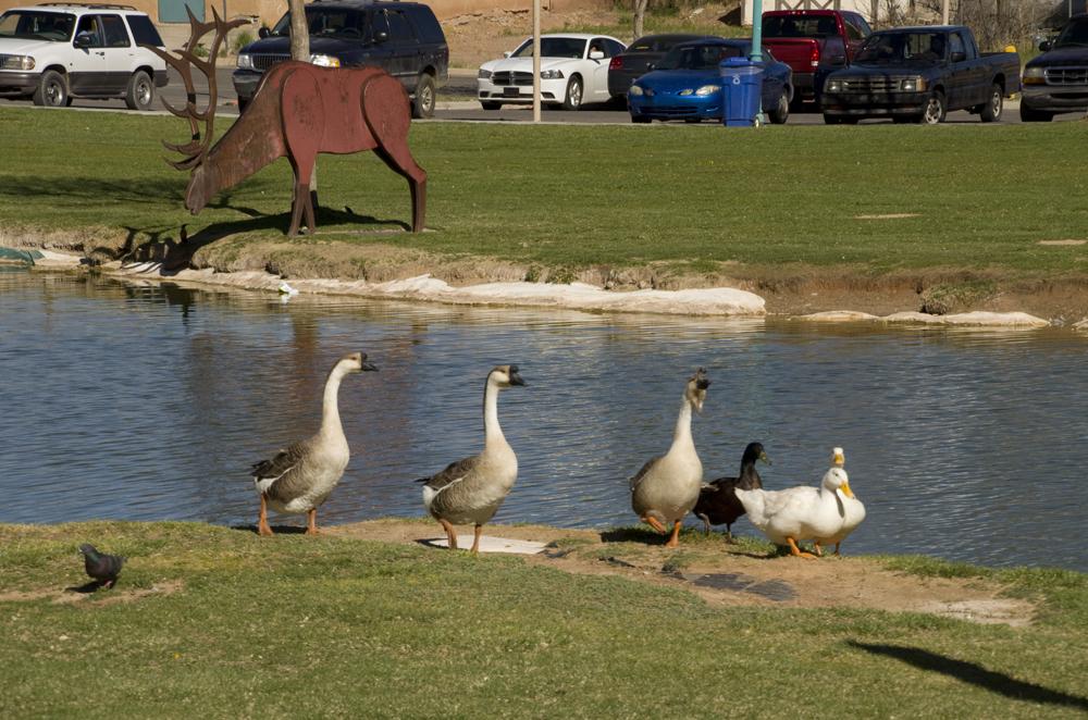 geese at pond Riverwalk park.jpg