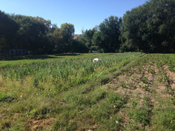 Gemini Farm potato field