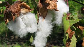Du cotonnier mexicain: coyuchi et blanc, fleurs de coton