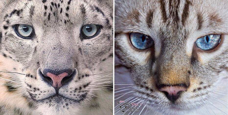 dracarys bengal cat snow lynx snow leopa