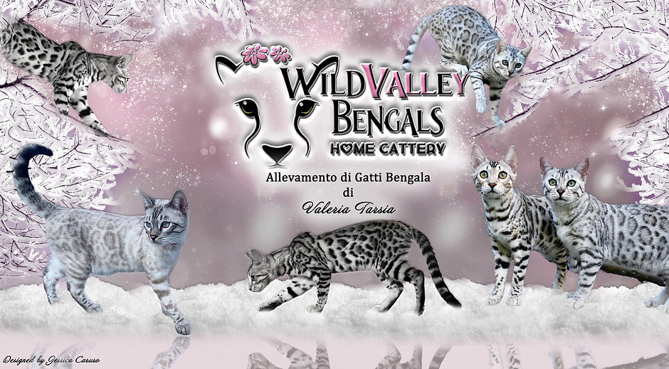 wildvalley bengals silver snow bengala l