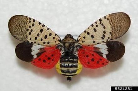 Spotted_lanternfly.jpg